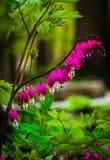 Αιμορραγώντας λουλούδια καρδιών που περιβάλλονται από τα πράσινα φύλλα Στοκ εικόνα με δικαίωμα ελεύθερης χρήσης