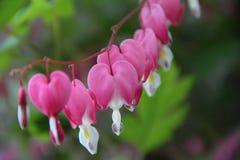 Αιμορραγώντας λουλούδια καρδιών Στοκ Φωτογραφίες