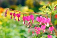 Αιμορραγώντας λουλούδια καρδιών (spectabilis Dicentra) Στοκ εικόνες με δικαίωμα ελεύθερης χρήσης