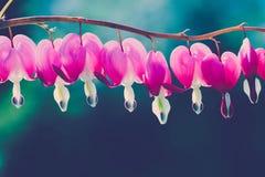 Αιμορραγώντας λουλούδι καρδιών Στοκ φωτογραφία με δικαίωμα ελεύθερης χρήσης