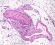 Αιμοφόρα αγγεία και νεύρα στοκ εικόνα με δικαίωμα ελεύθερης χρήσης