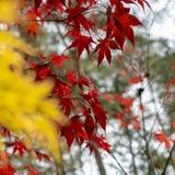 Αισθητά διευκρινισμένος κόκκινος ιαπωνικός σφένδαμνος μπροστά από το θολωμένο διευκρινισμένο κίτρινο japonicum Acer σφενδάμνου αν στοκ φωτογραφία με δικαίωμα ελεύθερης χρήσης