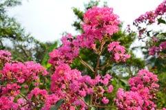 Αισθητικό κινεζικό άνθος λουλουδιών Στοκ Εικόνες