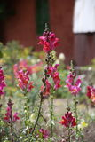 Αιφνιδιαστικό λουλούδι ή Antirrhinum δράκων Στοκ Φωτογραφίες