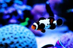 Αιχμάλωτος-αναπαραγμένος μαύρος πάγος Ocellaris Clownfish - ocellaris Amphriprion στοκ εικόνα