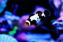 Αιχμάλωτος-αναπαραγμένος μαύρος πάγος Ocellaris Clownfish - ocellaris Amphriprion στοκ φωτογραφία