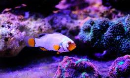 Αιχμάλωτος-αναπαραγμένο ακραίο χιόνι Onyx Clownfish - ocellaris Χ Amphriprion percula Amphriprion στοκ εικόνα με δικαίωμα ελεύθερης χρήσης
