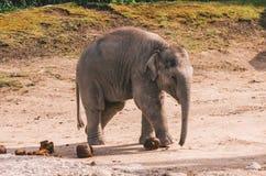 Αιχμάλωτος ελεφάντων ζωολογικών κήπων στοκ εικόνα με δικαίωμα ελεύθερης χρήσης
