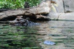 Αιχμάλωτος κροκόδειλος που βάζει σε μια ομάδα του νερού στοκ εικόνα με δικαίωμα ελεύθερης χρήσης