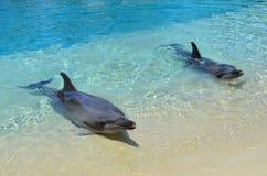 Αιχμάλωτα δελφίνια Στοκ φωτογραφία με δικαίωμα ελεύθερης χρήσης