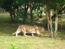 Αιχμάλωτος cougar που πιάνεται σε ένα πάρκο σε Cancun Στοκ φωτογραφίες με δικαίωμα ελεύθερης χρήσης