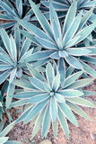Αιχμηρά δειγμένα φύλλα αγαύης στοκ εικόνες
