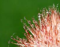 Αιχμηρές κόκκινες σπονδυλικές στήλες του κάκτου με τις μικροσκοπικές δροσοσταλίδες Στοκ Φωτογραφία