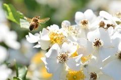 Αιωμένος ουρανός λουλουδιών μελισσών άσπρος στοκ φωτογραφίες με δικαίωμα ελεύθερης χρήσης