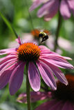 Αιωμένος Bumblebee Στοκ φωτογραφία με δικαίωμα ελεύθερης χρήσης