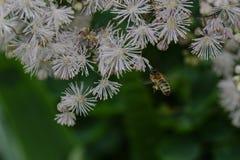 Αιωρηθείτε τη μέλισσα Στοκ εικόνες με δικαίωμα ελεύθερης χρήσης