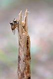 Αιωρηθείτε το ζευγάρωμα μυγών Στοκ Φωτογραφία