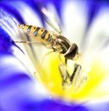 Αιωρηθείτε το λουλούδι δόξας πρωινού μυγών λουλουδιών μυγών στοκ φωτογραφία με δικαίωμα ελεύθερης χρήσης