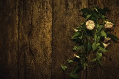 Αιώνιο λουλούδι αμπέλων στο παλαιό ξύλινο υπόβαθρο τοίχων Στοκ φωτογραφία με δικαίωμα ελεύθερης χρήσης