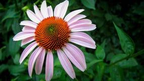 Αιώνιο λουλούδι Στοκ Φωτογραφία