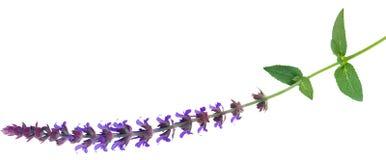 Αιώνιο λουλούδι Salvia Στοκ εικόνα με δικαίωμα ελεύθερης χρήσης