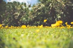Αιώνιο Arachis φυστικιών επίσης κίτρινο λουλούδι pintoi Στοκ Φωτογραφία