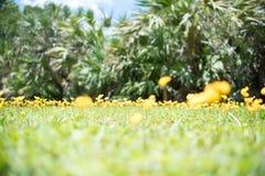 Αιώνιο Arachis φυστικιών επίσης κίτρινο λουλούδι pintoi Στοκ εικόνες με δικαίωμα ελεύθερης χρήσης