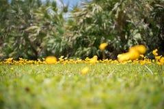 Αιώνιο Arachis φυστικιών επίσης κίτρινο λουλούδι pintoi Στοκ Εικόνα