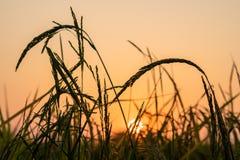 Ακίδα ρυζιού στο ηλιοβασίλεμα στοκ φωτογραφίες