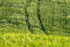 Ακίδες στον αέρα σε έναν τομέα σίτου r E Κυπαρίσσια, λόφοι, κίτρινοι τομείς συναπόσπορων στοκ φωτογραφία με δικαίωμα ελεύθερης χρήσης