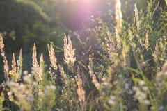 Χλόη φτερών στεπών στο ηλιοβασίλεμα Ακίδες της χλόης τομέων στον ήλιο βραδιού Λαμπροί μίσχοι χλόης r Μαλακή εστίαση στοκ εικόνα