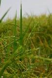Ακίδα του ρυζιού στο πρωί Στοκ Εικόνες