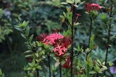 Ακίδες λουλουδιών από την Ινδονησία Στοκ Φωτογραφία