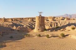 Ακακία στους πόλους στην έρημο Στοκ Εικόνες
