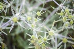 Ακανθωτά wildflowers Κάρδος Στοκ φωτογραφίες με δικαίωμα ελεύθερης χρήσης