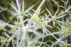 Ακανθωτά wildflowers Κάρδος Στοκ Εικόνες