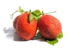 Ακανθωτή πικρή κολοκύθα Jackfruit μωρών, γλυκιά κολοκύθα, κολοκύθα Cochinchin Στοκ εικόνα με δικαίωμα ελεύθερης χρήσης