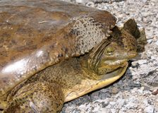 ακανθωτή χελώνα softshell προσώπο στοκ εικόνες