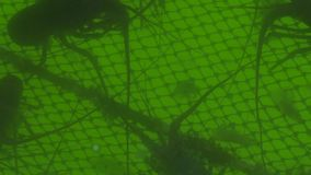 Ακανθωτός αστακός που κολυμπά στο νερό στην αλιεία του αγροκτήματος Δύσκολος αστακός αναπαραγωγής και καλλιέργειας, αστακοί, αστα απόθεμα βίντεο