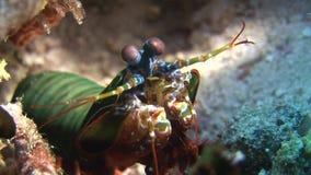 Ακανθωτός αστακός Langoust σε αναζήτηση των τροφίμων στο υπόβαθρο υποβρύχιο στην κατώτατη θάλασσα απόθεμα βίντεο