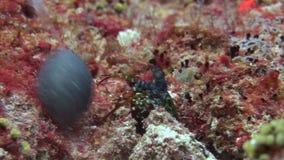 Ακανθωτός αστακός Langoust στα ζωηρόχρωμα κοράλλια υποβάθρου υποβρύχια στην κατώτατη θάλασσα φιλμ μικρού μήκους