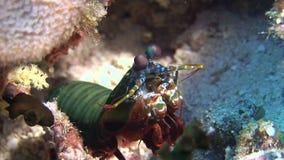 Ακανθωτός αστακός Langoust στα ζωηρόχρωμα κοράλλια υποβάθρου υποβρύχια στην κατώτατη θάλασσα απόθεμα βίντεο