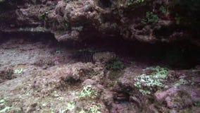 Ακανθωτός αστακός Socorro στο βράχο λεβήτων EL κοντά στο νησί Sanbenedicto από το αρχιπέλαγος Revillagigedo απόθεμα βίντεο