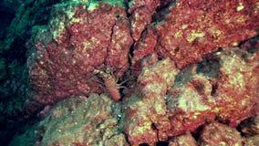 Ακανθωτός αστακός Socorro στο νησί Sanbenedicto από το αρχιπέλαγος Revillagigedo απόθεμα βίντεο