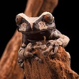 Ακανθωτός διευθυνμένος βάτραχος δέντρων στοκ φωτογραφίες με δικαίωμα ελεύθερης χρήσης