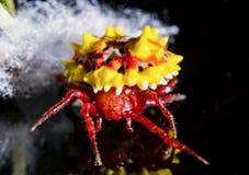Ακανθωτός υφαντής σφαιρών και λευκός ιστός αράχνης θαμπάδων Στοκ Φωτογραφίες