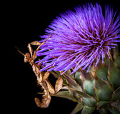 Ακανθωτό έντομο φύλλων στο σκωτσέζικο λουλούδι κάρδων, Sunbury, Βικτώρια, Αυστραλία, το Μάρτιο του 2017 στοκ φωτογραφία με δικαίωμα ελεύθερης χρήσης
