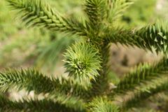 Ακανθωτό δέντρο Στοκ φωτογραφίες με δικαίωμα ελεύθερης χρήσης