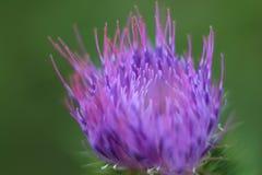 Ακανθωτό λουλούδι του burdock στο όμορφο πράσινο λιβάδι Στοκ Εικόνα
