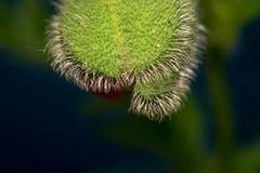 Ακανθωτό λουλούδι όπως ένα αγγούρι Μακροεντολή Στοκ εικόνες με δικαίωμα ελεύθερης χρήσης